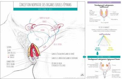 Conception normative des organes sexuels féminins